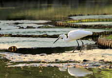 Little egret Stock Photos