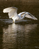 Little Egret Fishing Royalty Free Stock Images