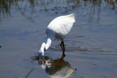 Little Egret Fishing Stock Photo