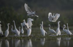 The Little  Egret hutning  in a lake Stock Image