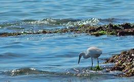 Little egret fishing on seashore egretta garzetta stock photo