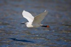Little Egret in Flight Stock Image