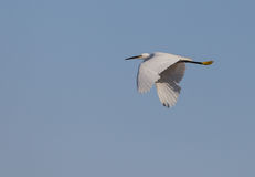 Little Egret in flight Stock Photos