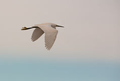 Little Egret in flight stock image