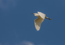 Little Egret in flight Royalty Free Stock Photos