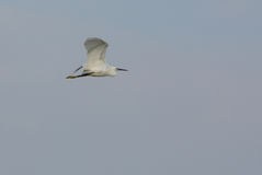 Little Egret in flight Stock Images