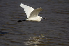 Little Egret on flight Stock Image