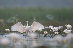Little Egret with flowers. Little Egret in water lillies pond royalty free stock images