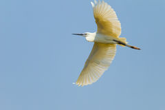 The Little Egret flying Royalty Free Stock Photography