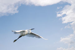 Little egret flying against blue sky with clouds royalty free stock photography