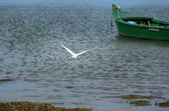 A little egret flying away with a green boat in the background royalty free stock image