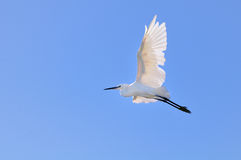 Little egret flying before blue sky stock photo