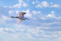 Little egret flying before cloudy sky royalty free stock photos
