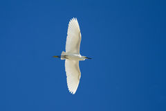 Little Egret Flying Over Royalty Free Stock Image