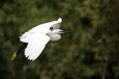 Little Egret flying over a channel Stock Image