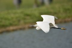 Little Egret. Flying over the fish pond Stock Photography