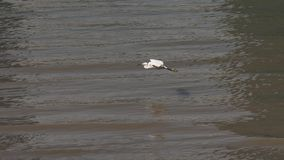 Little egret flying over Huangpu river in sunny day, bird sliding over water and landing at the river bank, high speed movie