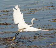 Little egret flying over reeds Royalty Free Stock Image