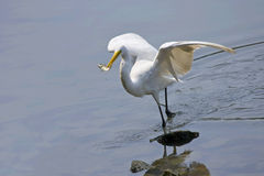 Little Egret. Foraging fish on the river Royalty Free Stock Photography