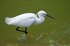 Little Egret. Foraging in river Royalty Free Stock Photos