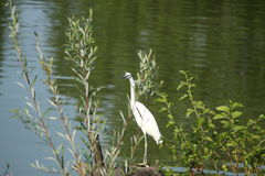 A little egret. Is gazing at you Stock Photography