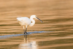 Little Egret in gold colored water Royalty Free Stock Images