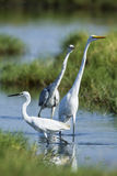 Little egret Great egret and grey heron in Pottuvil, Sri Lanka Stock Photography