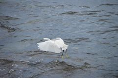 Little egret or heron landing Royalty Free Stock Images