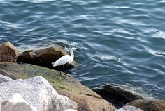 Little Egret in Hong Kong. Little Egret in Taipo Tolo Harbour in Hong Kong stock photography