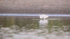 Little egret hunting. Little egret, egretta garzetta, is hunting fish in shallow pond stock video footage