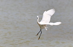 Little Egret is hunting Royalty Free Stock Photography