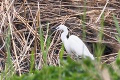 Little Egret Hunting Egretta garzetta White little Egret. Wildlife stock images