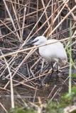 Little Egret Hunting Egretta garzetta White little Egret. Wildlife royalty free stock photo