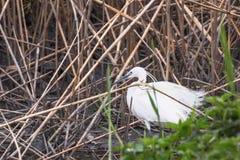 Little Egret Hunting Egretta garzetta White little Egret. Wildlife royalty free stock photos