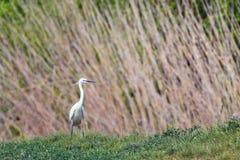 Little Egret Hunting Egretta garzetta White little Egret. Wildlife royalty free stock image
