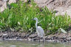 Little Egret Hunting Egretta garzetta White little Egret. Wildlife royalty free stock images