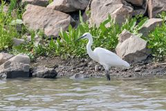 Little Egret Hunting Egretta garzetta White little Egret. Wildlife stock photo