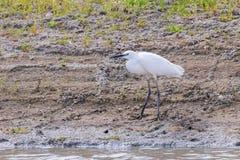 Little Egret Hunting Egretta garzetta White little Egret. Wildlife stock image
