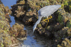 Little Egret Hunting Stock Photo