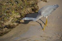 Little Egret Hunting Stock Photo