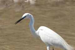 Little Egret hunting in the swamp stock image