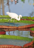Little egret hunting. Royalty Free Stock Photo