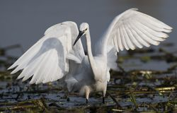 Little Egret Hunting. In a wetland stock photos