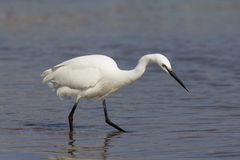 Little egret hunting Stock Photography