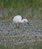 Little Egret. At Kalloni salt pans,Lesvos stock photography