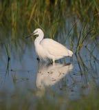 Little Egret. At Kalloni salt pans,Lesvos stock image