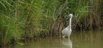Little Egret at a lagoon stock images