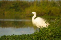 Little Egret royalty free stock photo