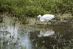 The little egret Egretta garzetta small heron fishing in water in Kampala, Uganda, Africa royalty free stock images