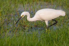 Little Egret looking for food. Little Egret standing in water looking for food Stock Photo